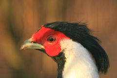 Berlioz's silver pheasant Stock Images
