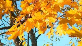Berlocket av den guld- hösten arkivfilmer