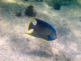 Bermuda blue angelfish Stock Image