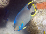 Bermuda blue angelfish Royalty Free Stock Images