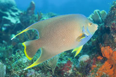 Bermuda blue angelfish (Holacanthus bermudensis). Bermuda blue angelfish, (Holacanthus bermudensis) swimming on a coral reef Royalty Free Stock Image