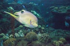 Bermuda blue angelfish Holacanthus bermudensis stock image