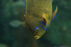 Bermuda blue Angelfish, Holacanthus bermudensis Stock Image