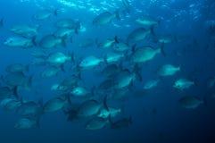 Bermuda Chub stock photos
