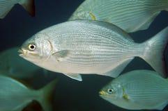 Bermuda Chub stock photo