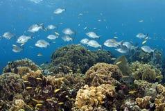 Bermuda Chub fish schooling. Coral reef  off the coast of the Craibbean island, Roatan Royalty Free Stock Photography
