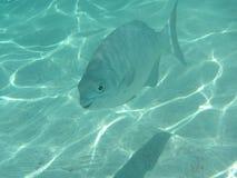 Bermuda Chub. Happy fish (Bermuda Chub) swimming along a sandy bottom near a Caribbean coral reef Stock Photography