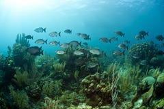 Bermuda chub, Kyphosus sectatrix Stock Photography