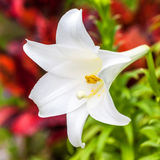 Bermuda Easter Lily Stock Images