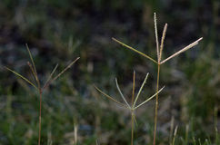 Bermuda Grass Flowers. Selective focus on flowers of Bermuda Grass Stock Images