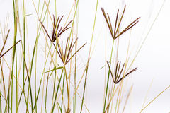 Bermuda grass flowers Stock Photo