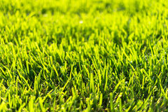 Bermuda Grass Royalty Free Stock Images