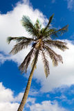 Bermuda Palm Tree Royalty Free Stock Photography
