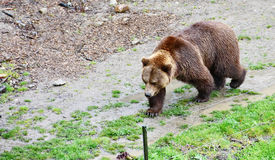 The Bern Bear Pit and Bears Royalty Free Stock Image