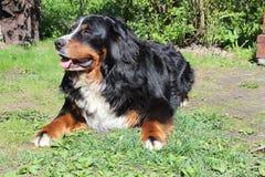 Bern dog Stock Photo