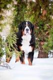 Bern sennenhund dog portrait Royalty Free Stock Images
