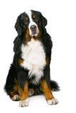 Bern sheepdog. Stock Photography