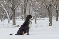 The Bern Sheepdog is sitting in the snow stock photo