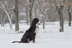 Bern Sheepdog sitzt im Schnee stockfoto