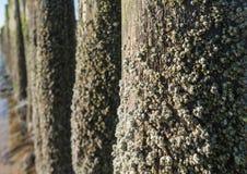 Bernaches de gland sur les poteaux en bois de la fin images stock
