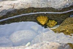 Bernaches en eau de mer Photo libre de droits