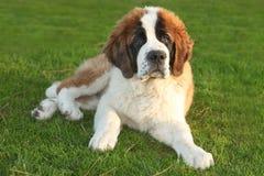 bernard逗人喜爱的小狗纯血统的动物圣徒 库存图片