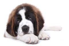 bernard śliczny szczeniaka purebred święty Fotografia Royalty Free
