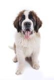 bernard śliczny szczeniaka purebred święty Obrazy Royalty Free