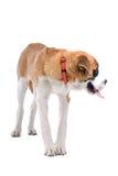 bernard σκυλί Άγιος Στοκ εικόνα με δικαίωμα ελεύθερης χρήσης