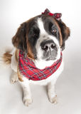 bernard σκυλί ST Στοκ Φωτογραφίες