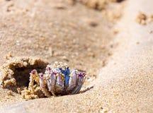 Bernard l'ermite bleu de longicarpus de Mictyris Photos libres de droits