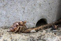 Bernard l'ermite dans une plage Okinawan, Japon Image stock