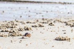 Bernard l'ermite marchant au-dessus de la plage pendant la marée basse à la berge de Tamar Photographie stock libre de droits