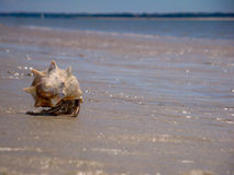 Bernard l'ermite rampant sur Carolina Seascape Image libre de droits