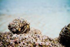 Bernard l'ermite sur une plage couverte dans les interpréteurs de commandes interactifs Photographie stock libre de droits