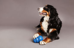 Bernard Sennenhund with Chew Toy at Studio. Studio portrait of a Bernard Sennenhund dog with its blue chew toy at its feet Royalty Free Stock Image