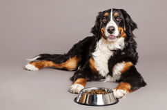 Bernard Sennenhund with Food Bowl at Studio Royalty Free Stock Photos