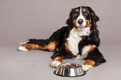 Bernard Sennenhund with Food Bowl at Studio Royalty Free Stock Photos