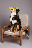 Bernard Sennenhund with Funky Glasses at Studio Royalty Free Stock Photography