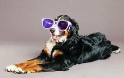 Bernard Sennenhund med skraj exponeringsglas på studion Royaltyfria Bilder