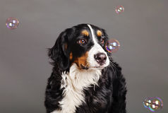 Bernard Sennenhund with Soap Bubbles at Studio Royalty Free Stock Photos