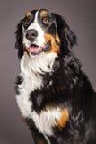 Bernard Sennenhund Studio Portrait Royalty Free Stock Image