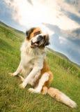 bernardhund som sitter st Arkivfoto