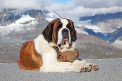 bernardhundst Royaltyfri Foto