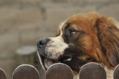 Bernardyn-Hunderasse Hund, der von hinten den Zaun schaut verteidiger Lizenzfreies Stockbild