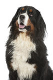 Berner sennen dog Stock Image