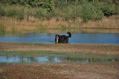 Berner sennen hond Royalty-vrije Stock Fotografie