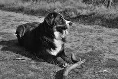Berner sennen hond Stock Afbeeldingen