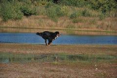 Berner sennen hond Stock Foto's