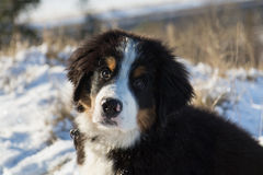 Berner Sennen Puppy Royalty Free Stock Image